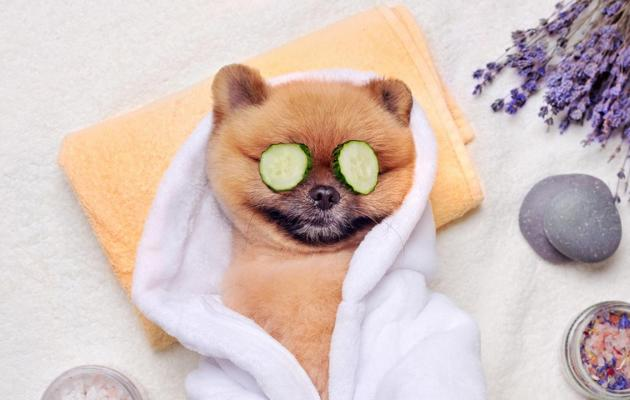 A photo of a Spitz dog relaxing at the Spa.